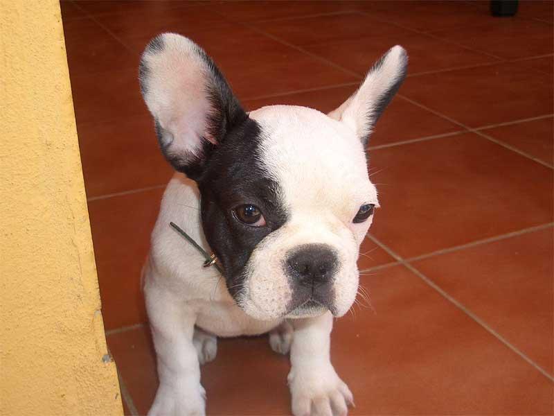 Razas de perros ideales para departamentos o casas peque as mundo feliz - Perros para tener en casa ...