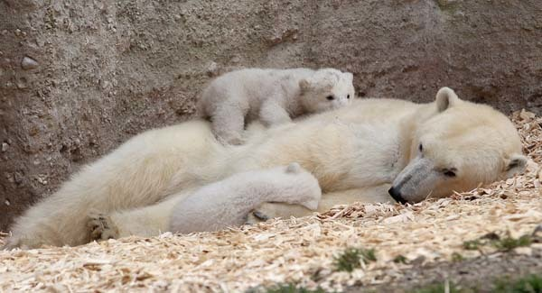 This polar bear cub, snuggling with mom.
