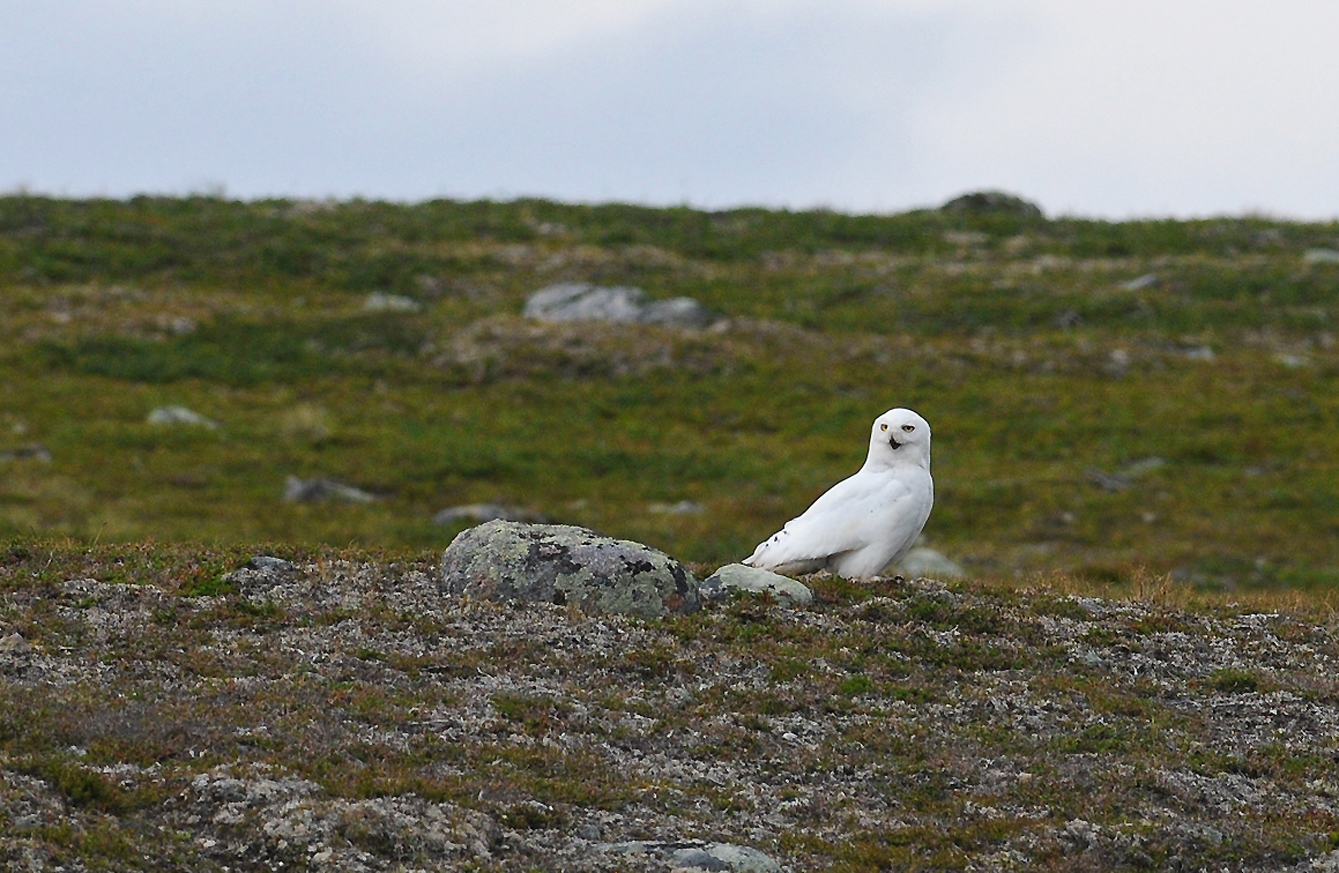 Top 28 Snowy Owl In The Tundra Snowy Owl Flickr Photo