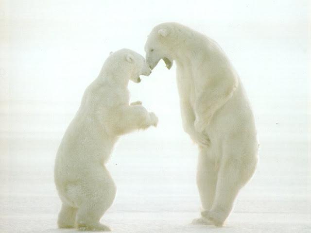Polar Bear's 3
