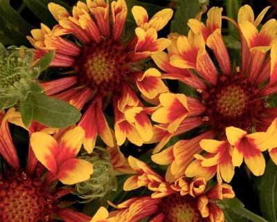 fotos de flores - flor naranja