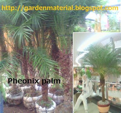 pheonix palm plant