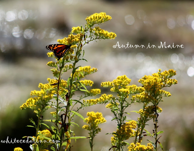 monarch butterfly, Gilsland Farm Audubon Maine