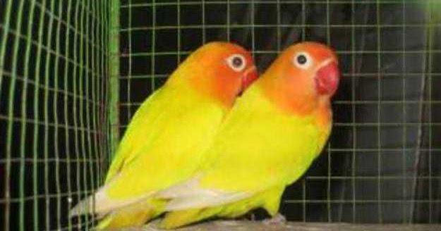 bnr bird farm cara membedakan love bird jantan dan betina