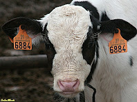 Vaca del mas El Gurri Gros. Autor: Carlos Albacete