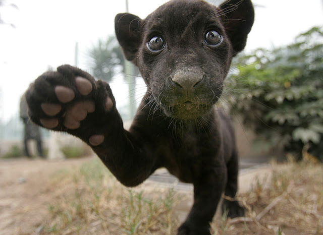 baby jaguar says hi, funny animal pictures, animal pics