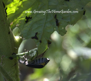 Black Blister Beetle on Tomato Plant