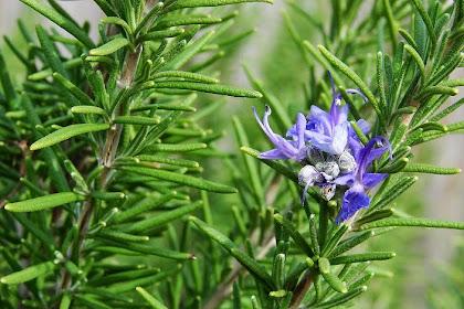 Tumbuhan Rosemary Ampuh Mengusir Nyamuk