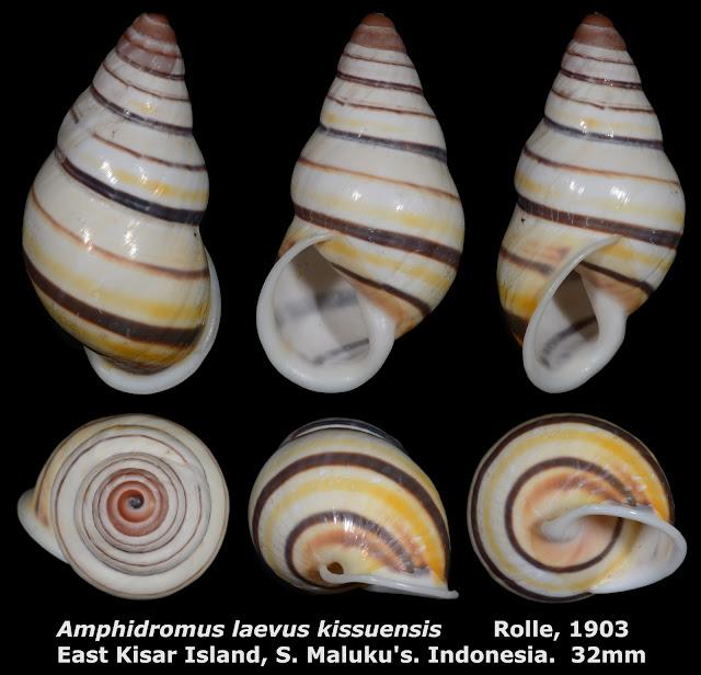 Amphidromus laevus kissuensis 32mm