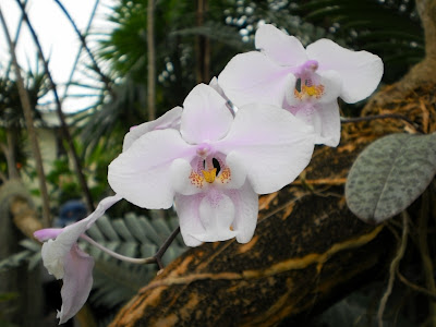 Dendrobium orchid, pink, white, grey, yellow