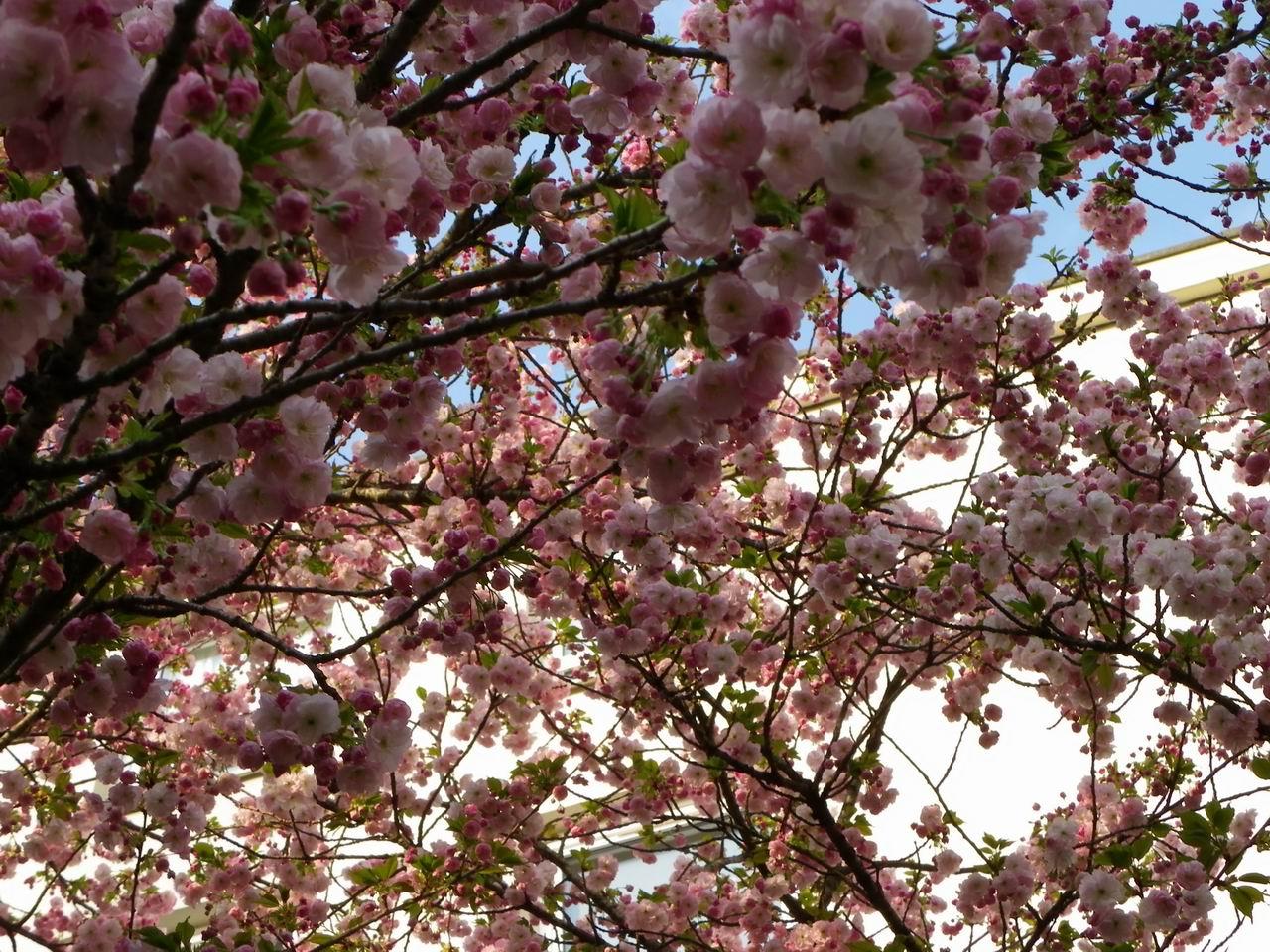 evariste zephyrin photographer cerisier du japon en fleurs. Black Bedroom Furniture Sets. Home Design Ideas