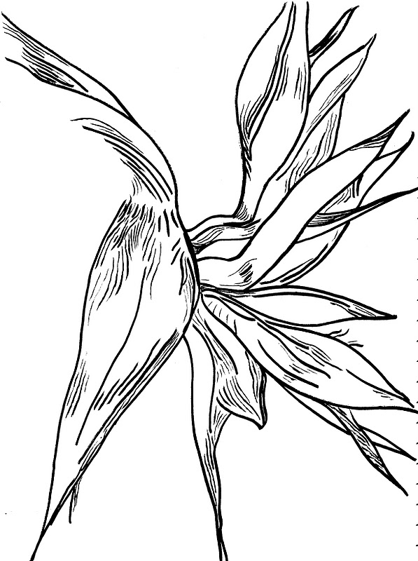 how to draw a bird of paradise