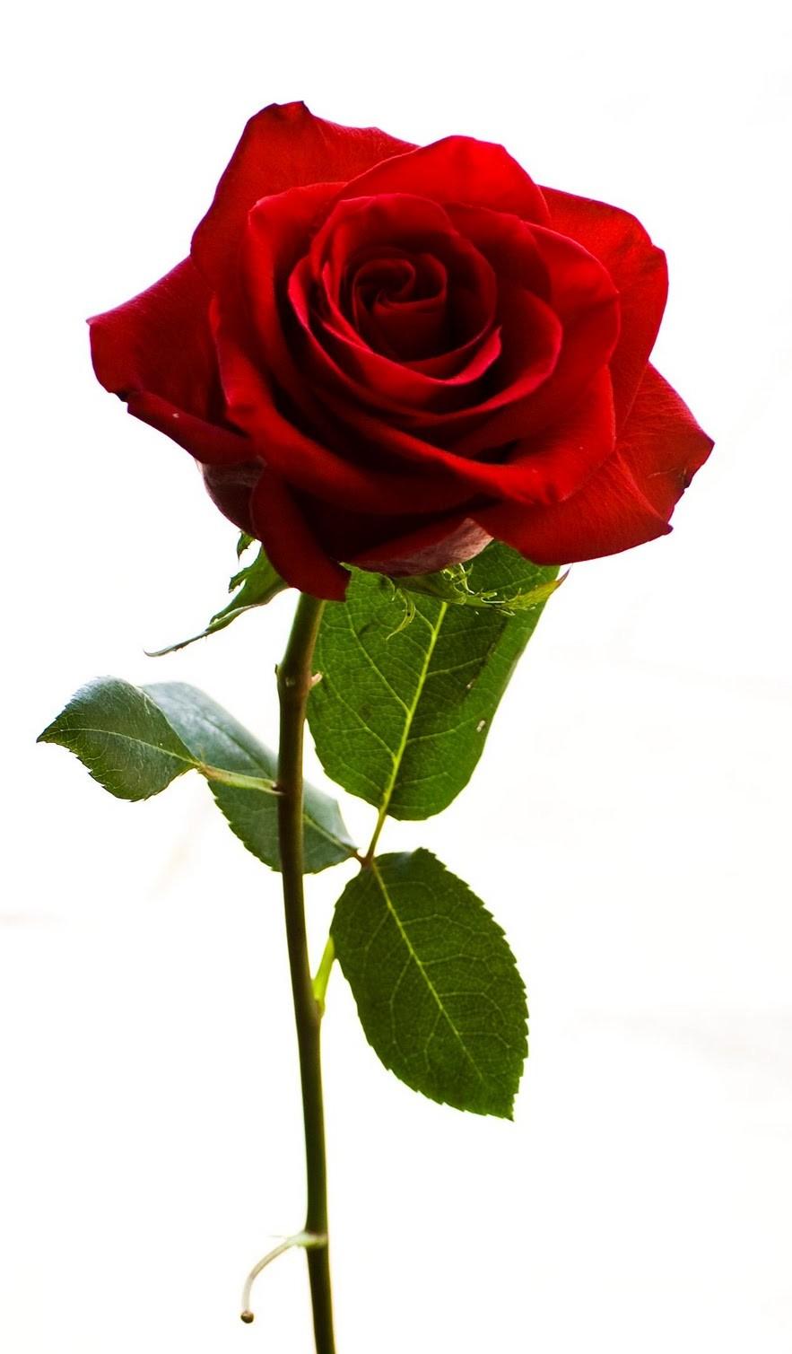 Desde mi amanecer marzo 2013 - Como secar una rosa ...