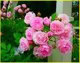 La maison serait pleine de roses.