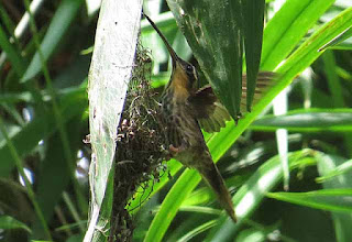 Tooth-billed Hermit