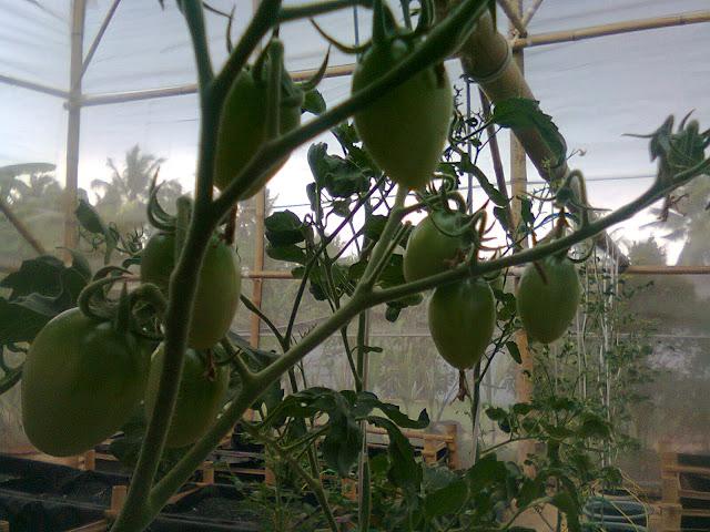 Tanaman Tomat Cherry Mulai Berbuah