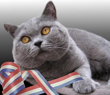 British shorthair cat pets huisdieren animaux de compagnie haustiere