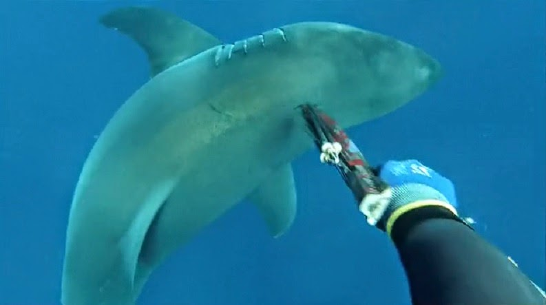 Australian spearfisherman jabs great white shark with his spear to chase if off.