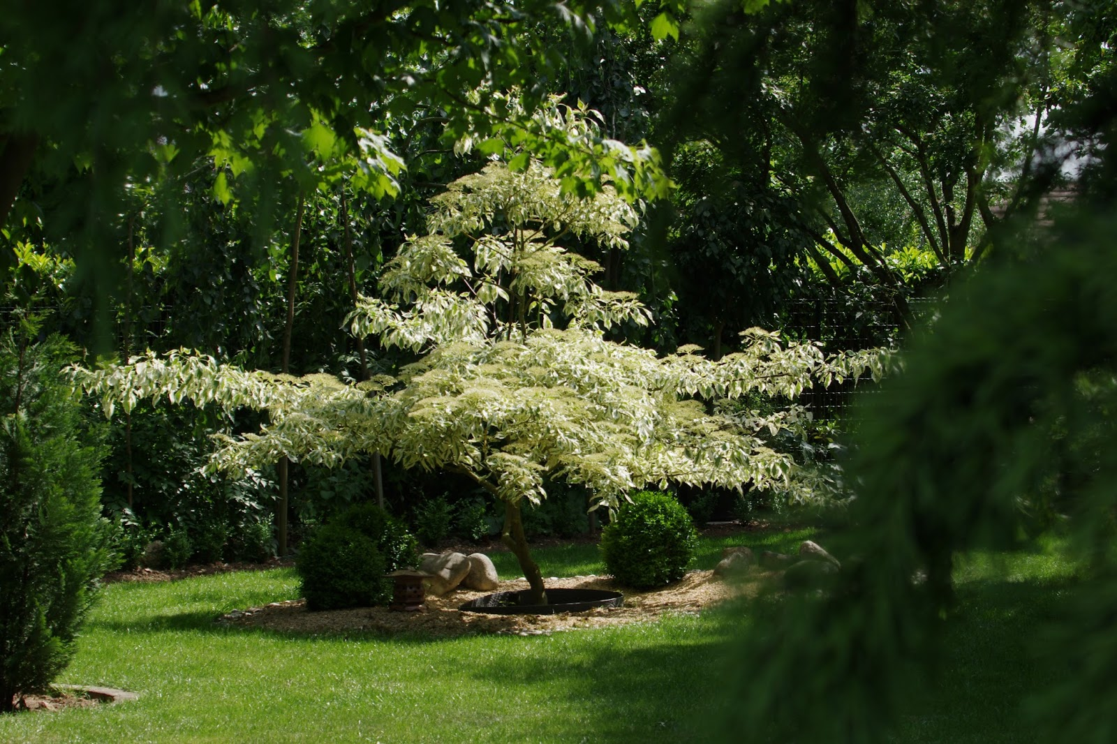 Arbre de jardin a croissance rapide le nyssa sylvatica for Arbre pour jardin