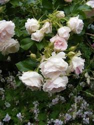 Min rosenblogg