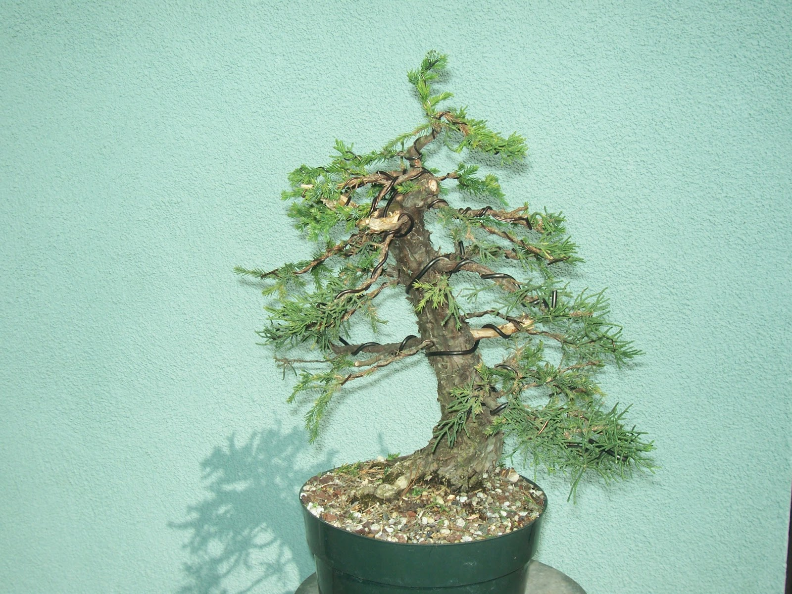 Marvelous Wiring A San Jose Bonsai Before And After Whats Happening At Wiring 101 Capemaxxcnl