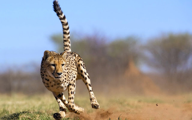 123311-Cheetah With a Fast Running Attacking Animal HD Wallpaperz