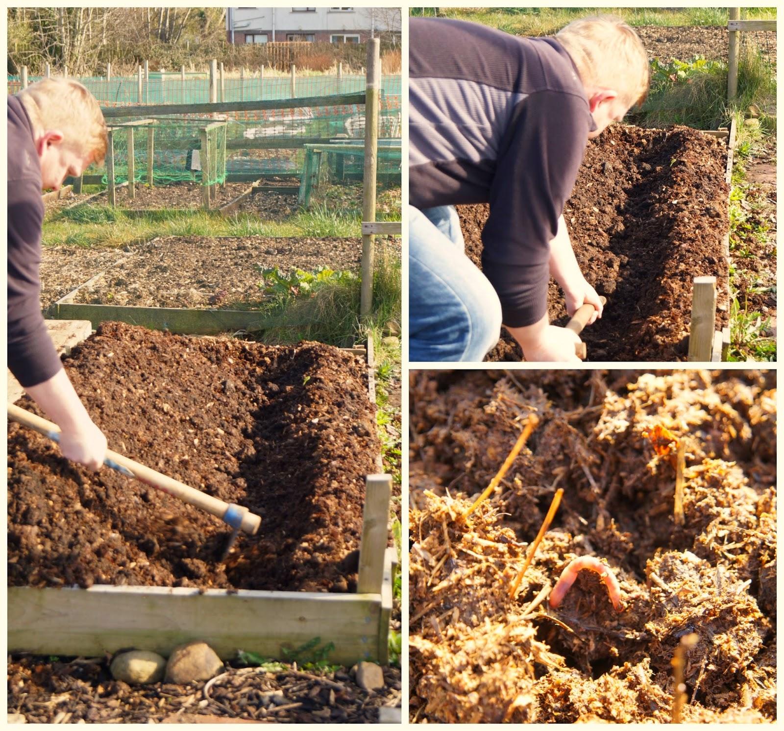 preparing the potato bed ~ growourown.blogspot.com