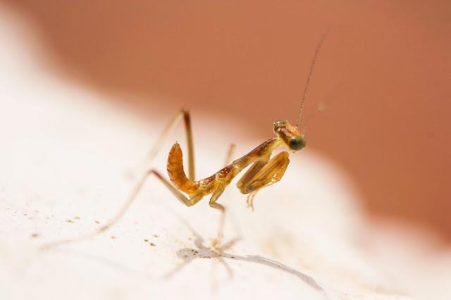 Fotografía macro de una cria de Mantis Religiosa
