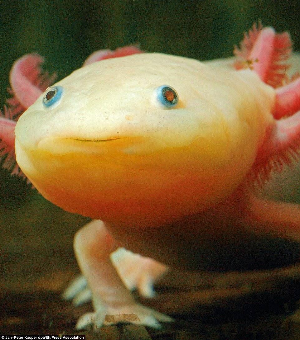 نوع من المخلوقات مهددة بالإنقراض تمشي على قدمين وتعيش في الماء