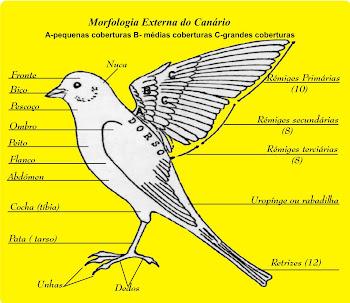 Morfologia Externa dos Canários