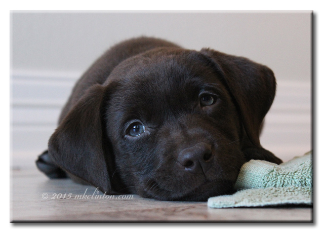 Black Lab puppy Paisley