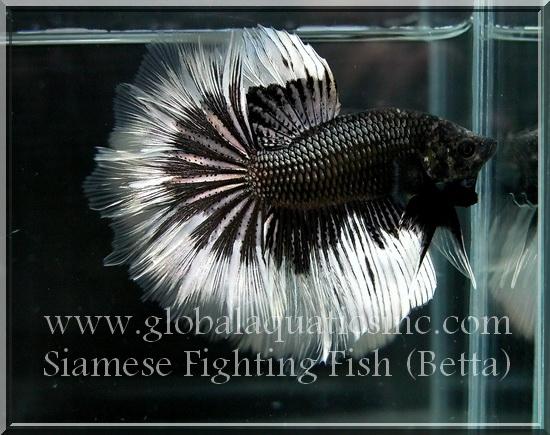 Show grade special betta global aquatics inc genuine for Order betta fish