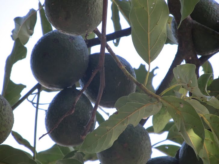 avocado tree in Antigua