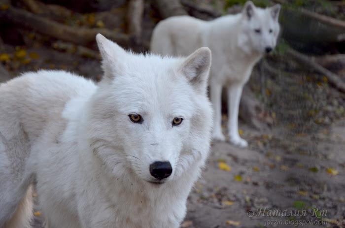Мелвильские островные волки