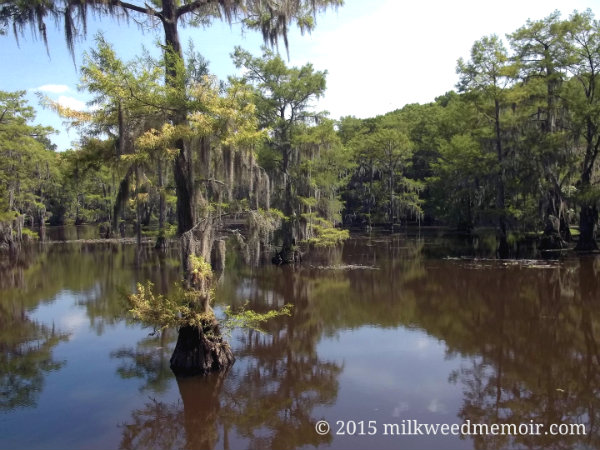 Caddo Lake cypress grove, Caddo Lake State Park, Karnack, Texas