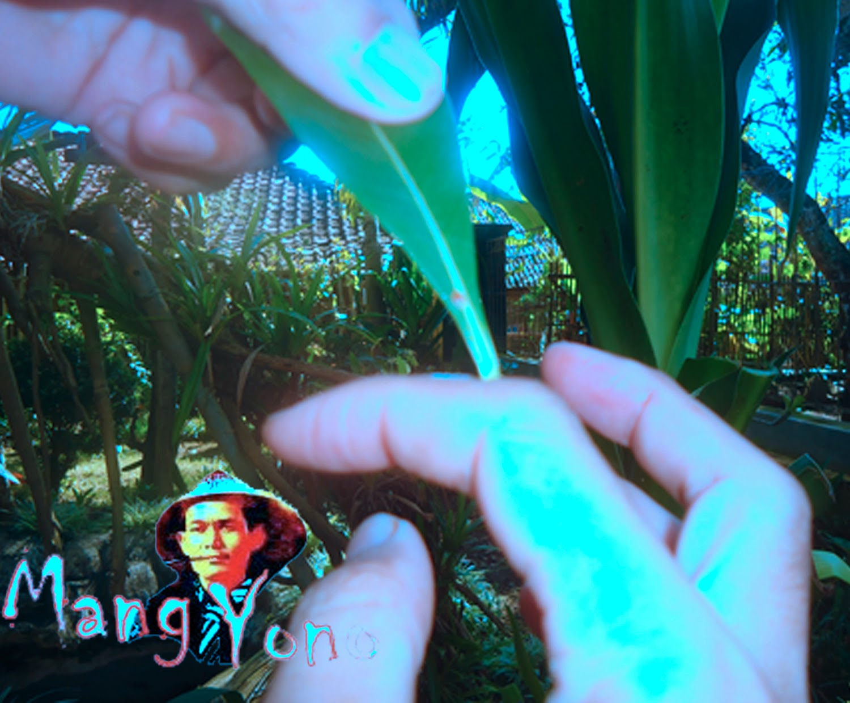 Cara mengobati luka, kutil dengan getah Adenium Obesum / Kamboja Jepang.