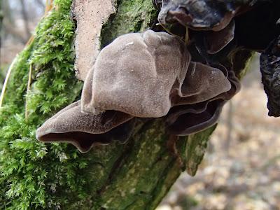 Uszak bzowy Auricularia auricula-judae
