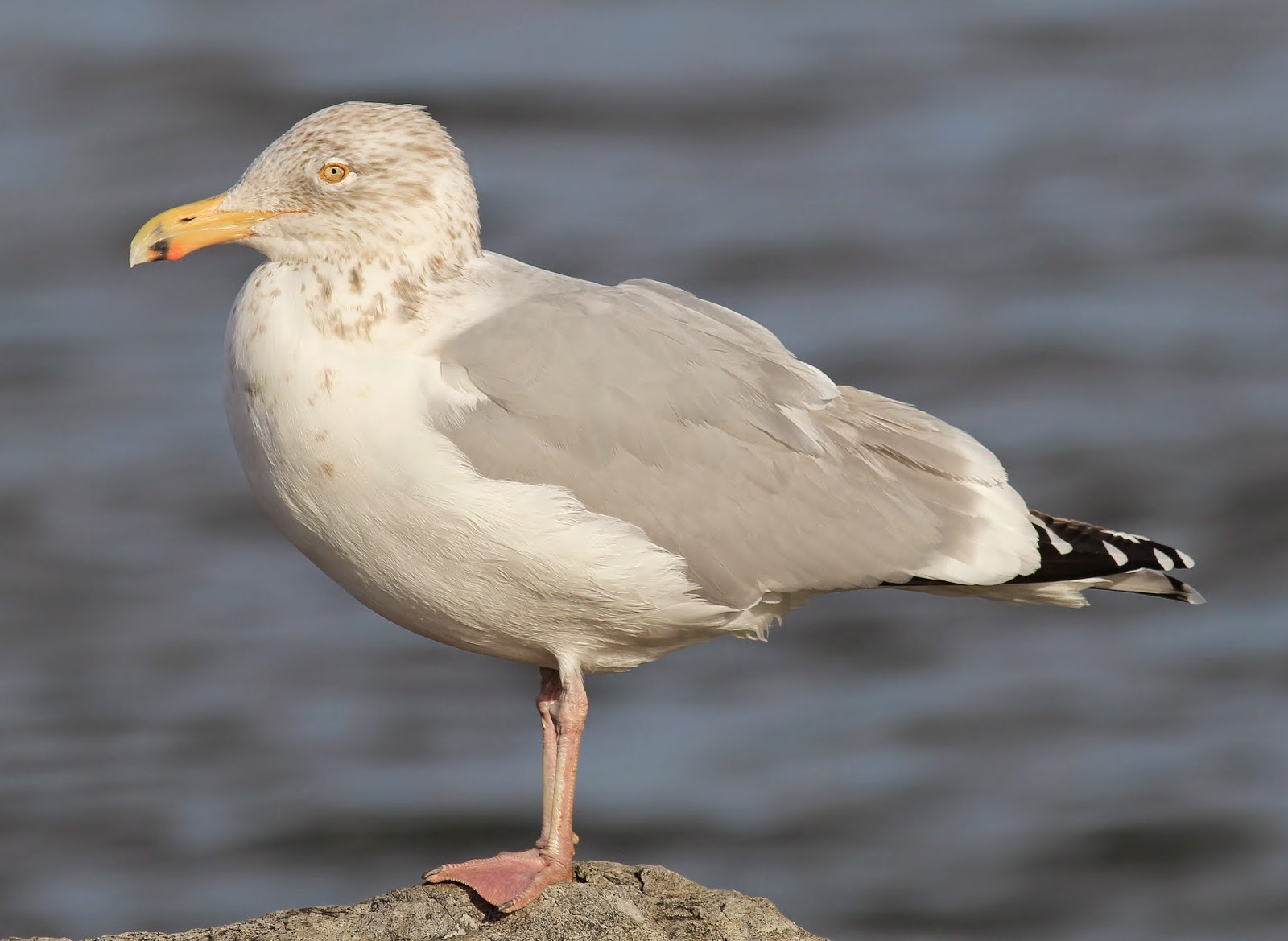 how do gulls survive winter nature on the edge of new york city