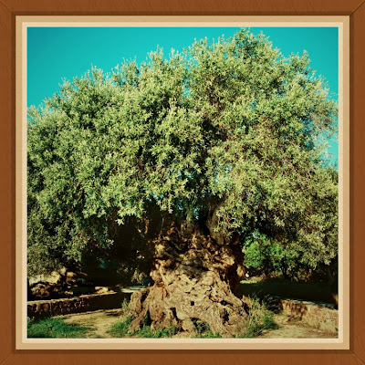 The Monumental Olive Tree of Vouves, Crete Island Olive Oil