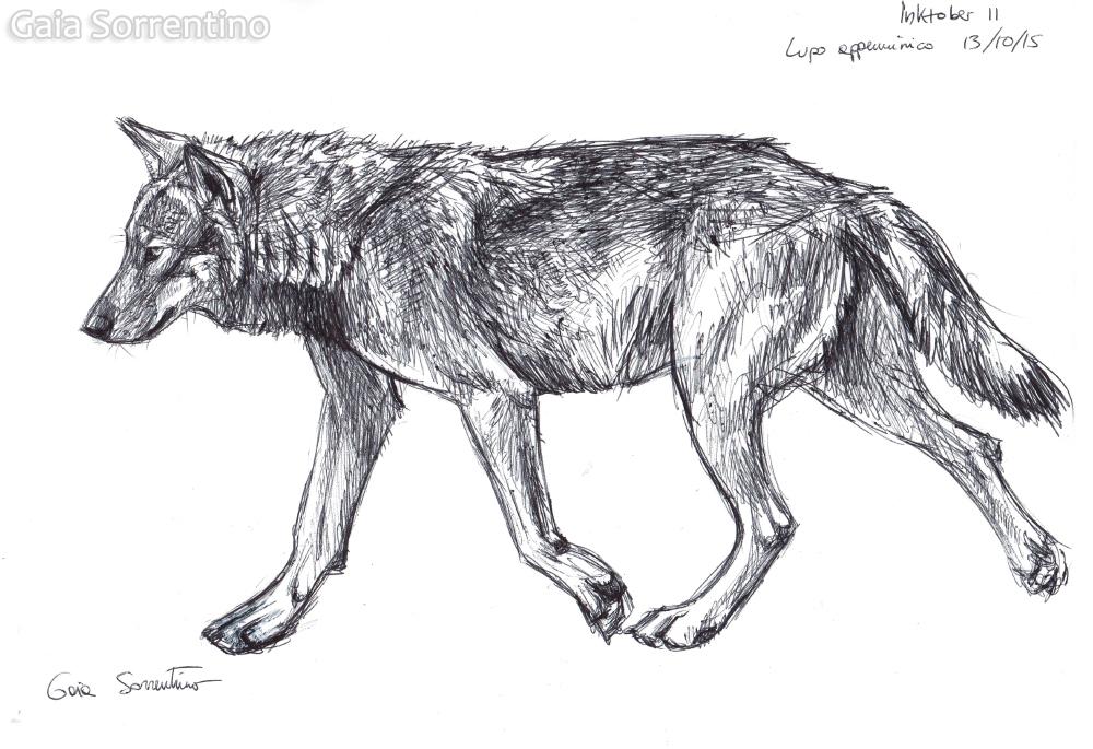 Gaia sorrentino disegnatrice naturalista inktober lupo for Lupo disegno a matita