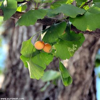 Nueces de gingko en árbol