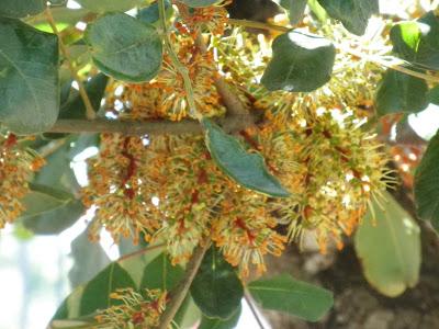 Carob (Ceratonia Siliqua) Overview, Health Benefits, Side effects