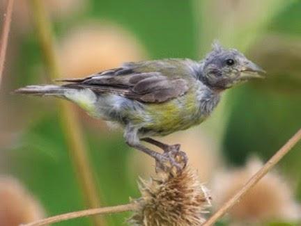 Gambar Cara Merawat Burung Ciblek Gunung
