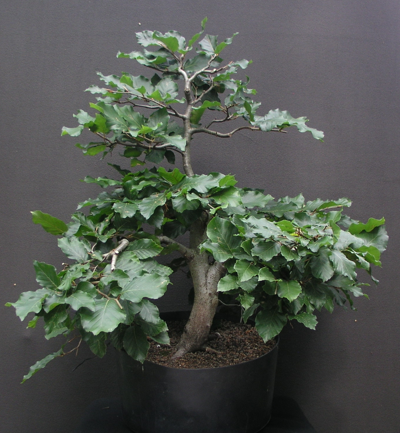 rene pauly bonsai rotbuche 3 fagus sylvatica. Black Bedroom Furniture Sets. Home Design Ideas