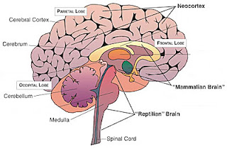 illustration of the brain and its various functional sections
