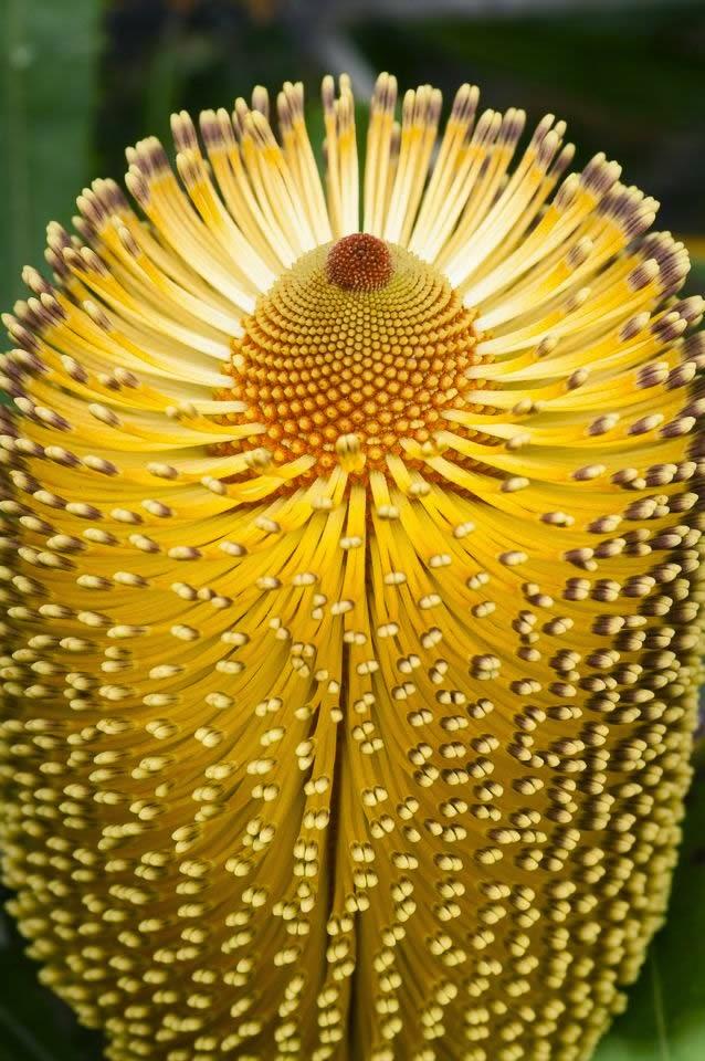 Burdett's Banksia [Family: Proteaceae], Western Australia