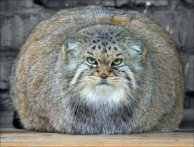 Fat Cats Awesome Photographs | Funny And Cute Animals