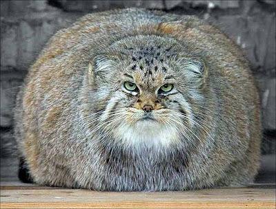 Funny+Fat+Cat