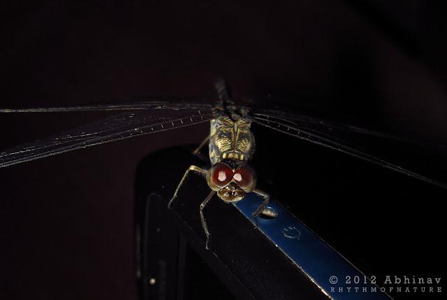 Granite Ghost Dragonfly (Bradinopyga geminata)