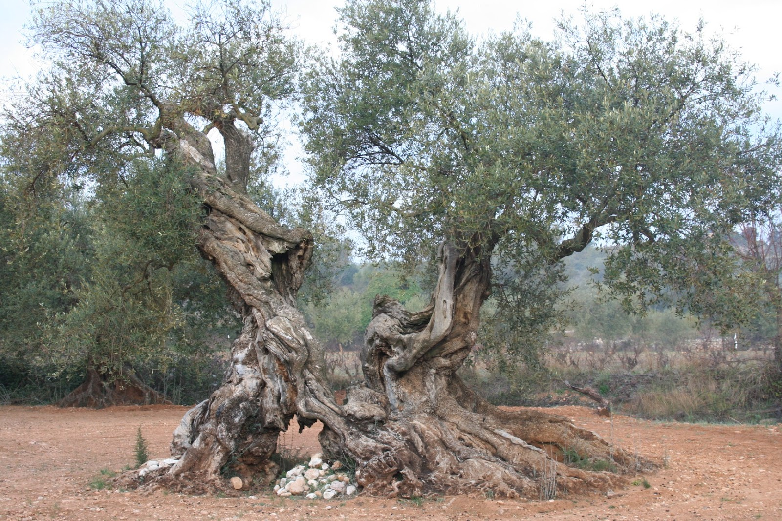5000 Years Old Olive Tree Saqib Bashir